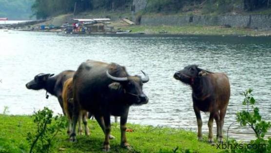 记忆中的水牛