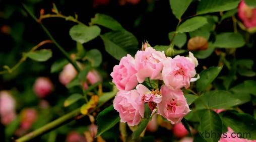 阳台上的蔷薇花