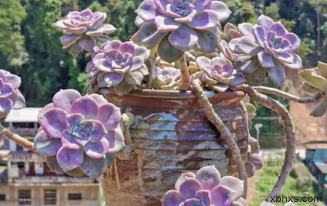 小时候萌哒哒,长大后摇身一变成各种妖娆造型的多肉植物——紫乐