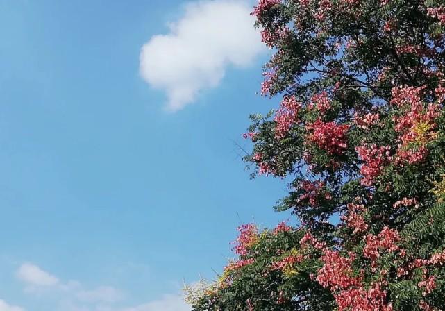 栾树,比花美的树